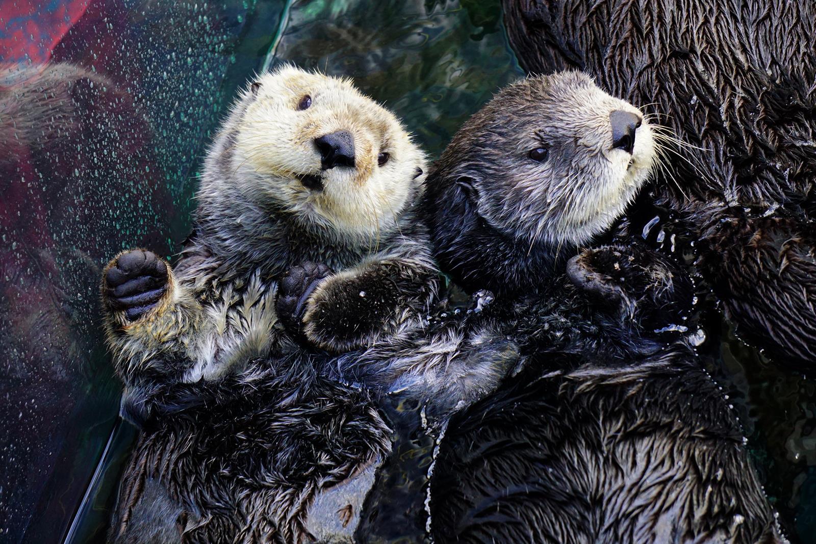 Sea Otter Live Cam Monterey Bay