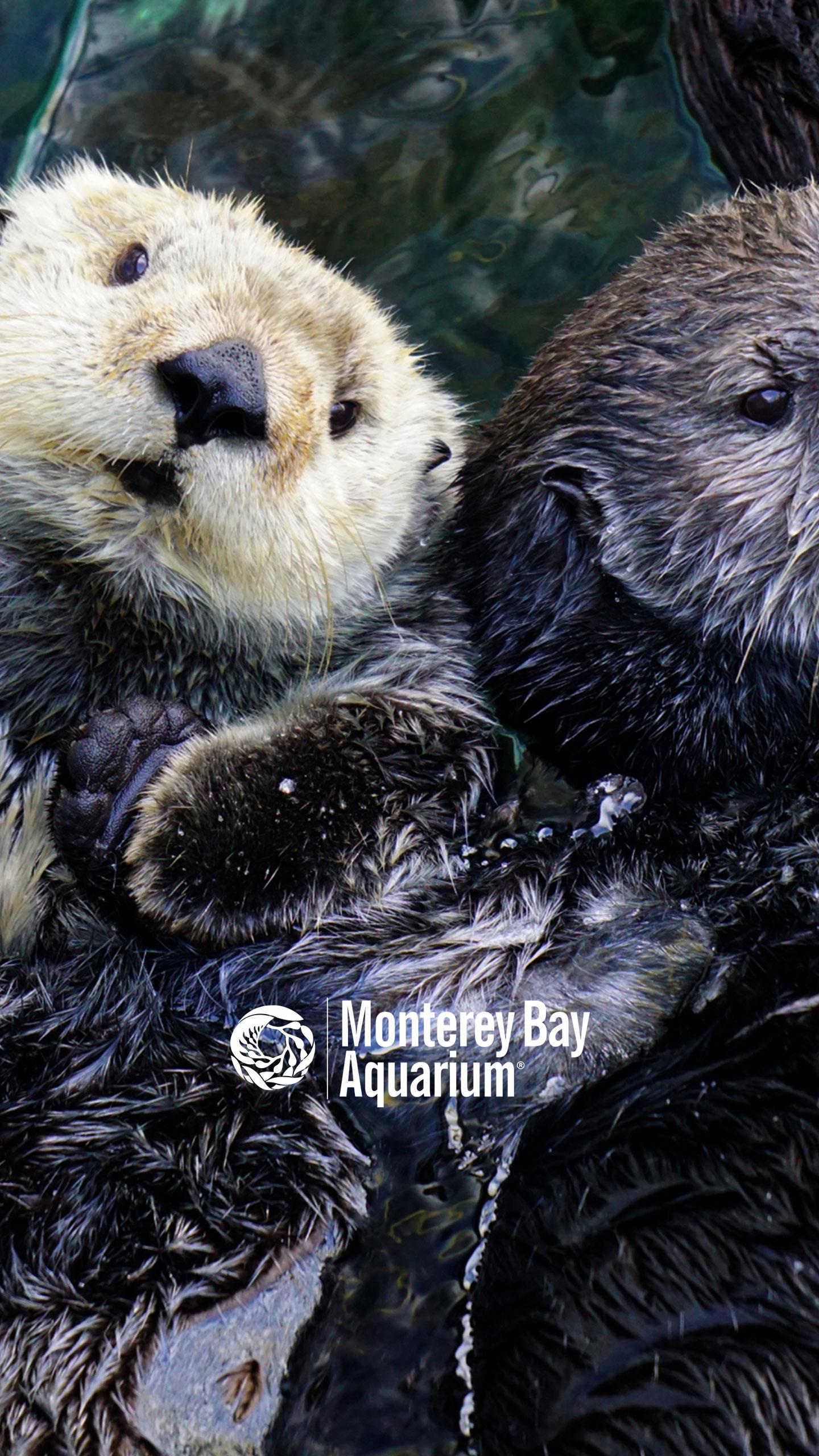 Southern Sea Otters Wallpapers Monterey Bay Aquarium