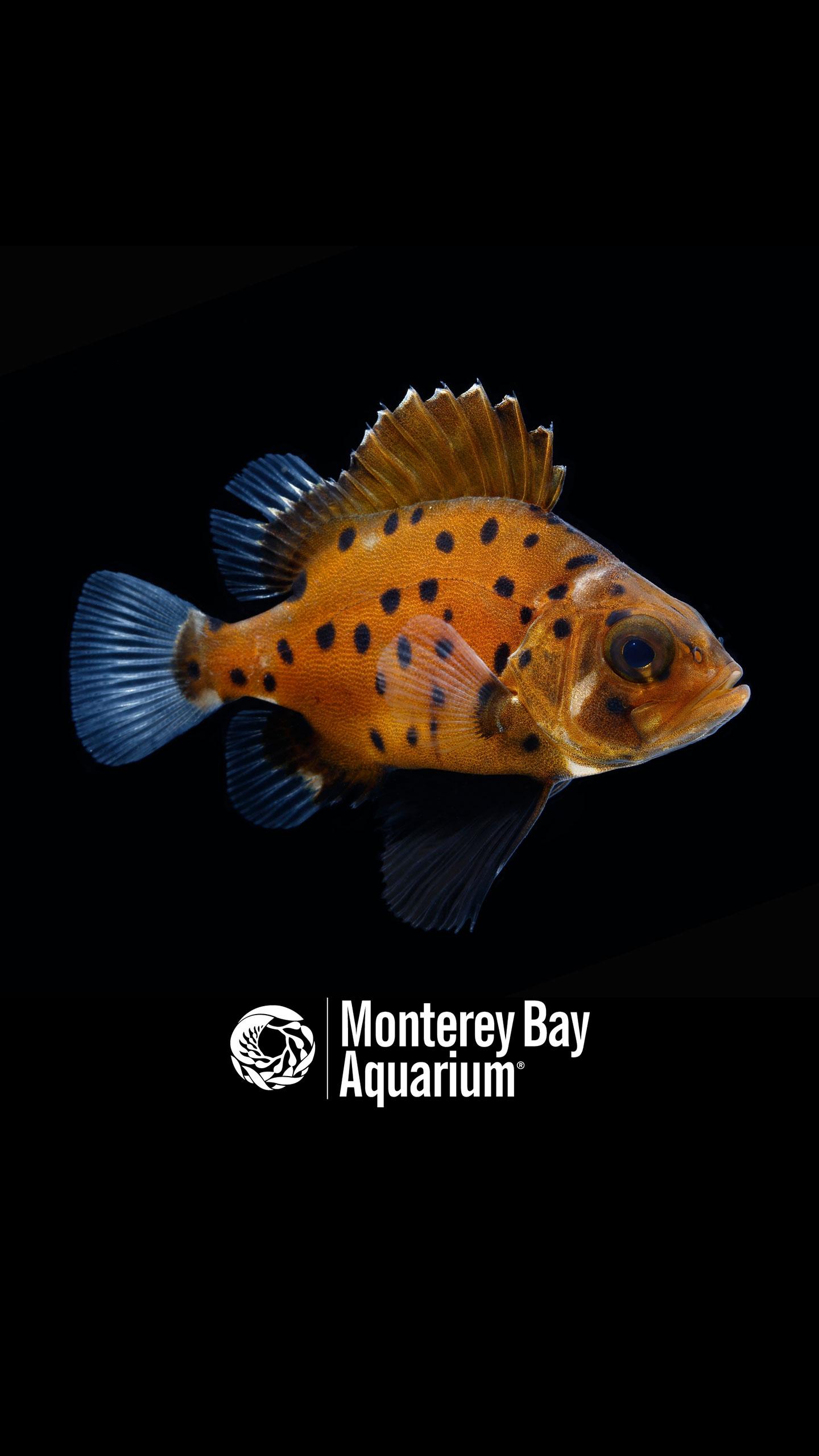 Giant Sea Bass Wallpapers Monterey Bay Aquarium