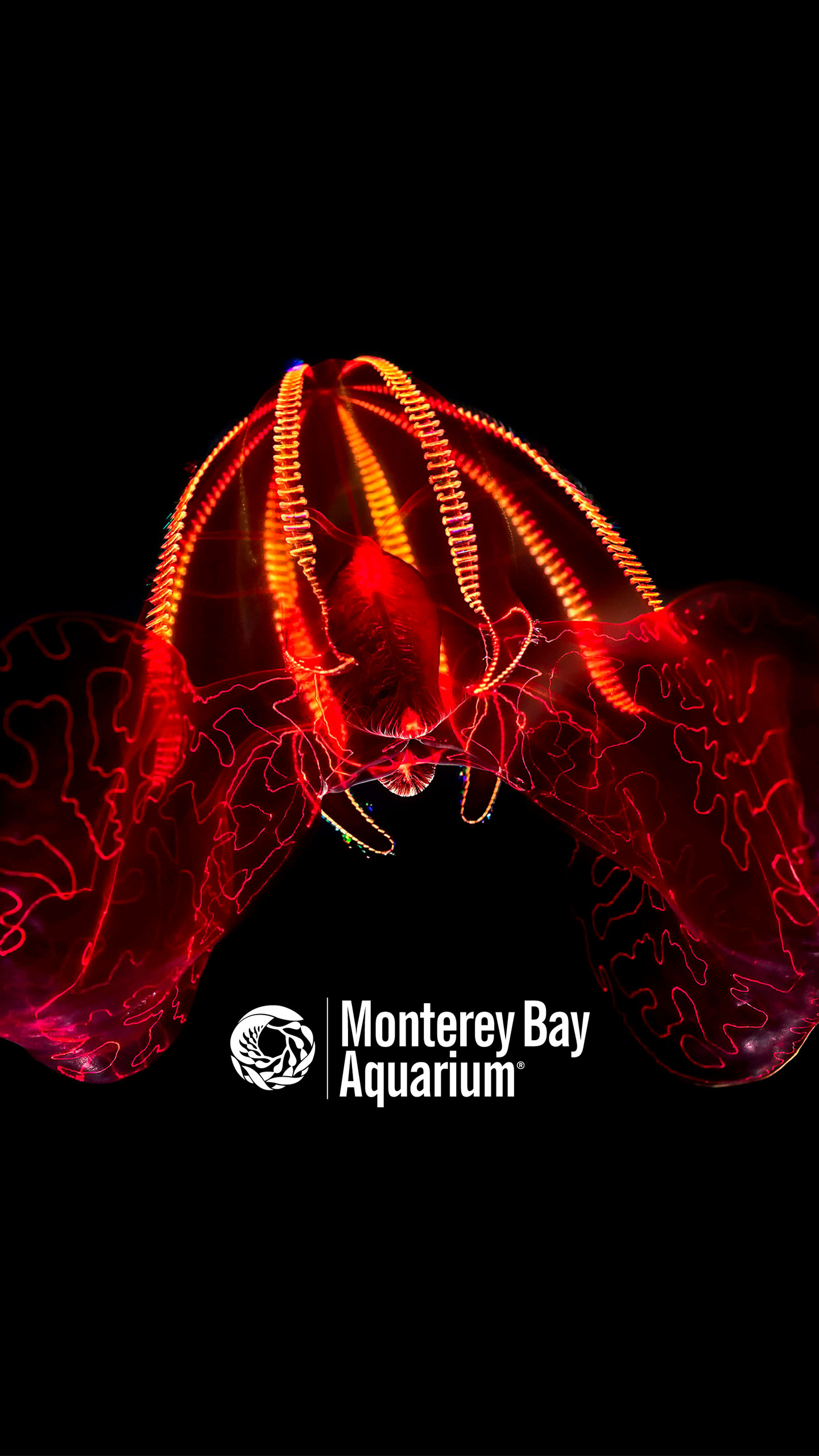 Bloodybelly Comb Jelly Wallpapers Monterey Bay Aquarium